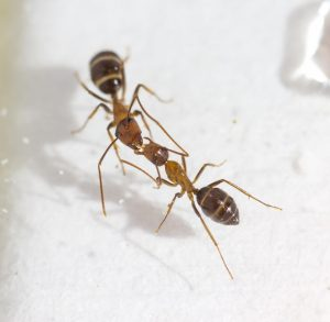 Carpenter ants (Camponotus floridanus) are exchanging fluid mouth-to-mouth by trophallaxis. Photo: Adria C. LeBoeuf