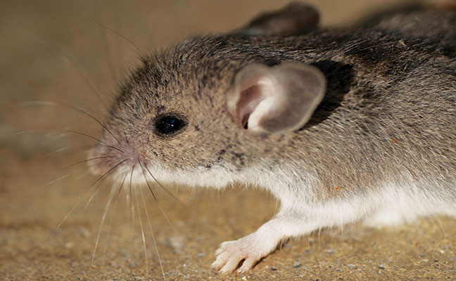 Selecting correct bait crucial for rodent infestation ...