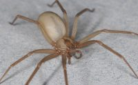 Brown recluse spider, Dr. Rick Vetter