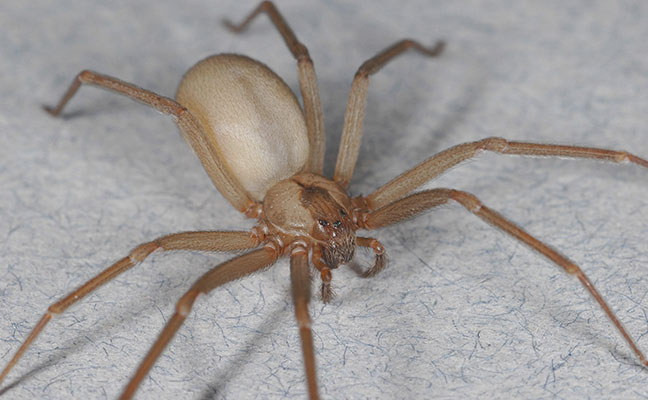 A University of California, Riverside, researcher published a paper about skin conditions that are often misdiagnosed as brown recluse spider bites. Photo: Dr. Rick Vetter