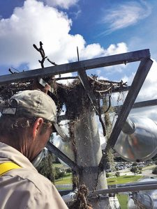 An osprey nest on the top of traditional stadium lights can be a fire hazard. Photo: Christy Norris