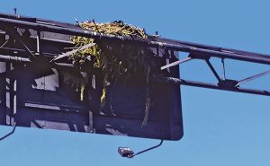 An osprey nest is built on the back of a highway sign. Photo: Christy Norris