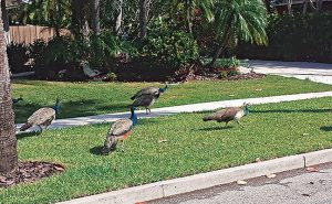 Peafowl infested the entire town of Long Boat Key, Fla. Photo: Christy Norris