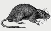 Norway rat, illustrated for the Truman's Guide. (Art: North Coast Media)