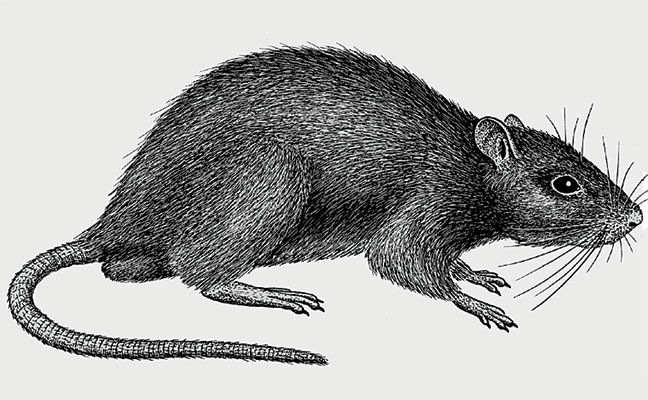 Norway rat, illustrated for the Truman's Guide, Seventh Edition. (Art: North Coast Media)