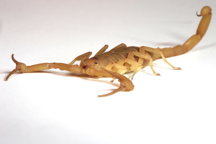 Arizona bark scorpion (Photo: iStock.com/Srabin)
