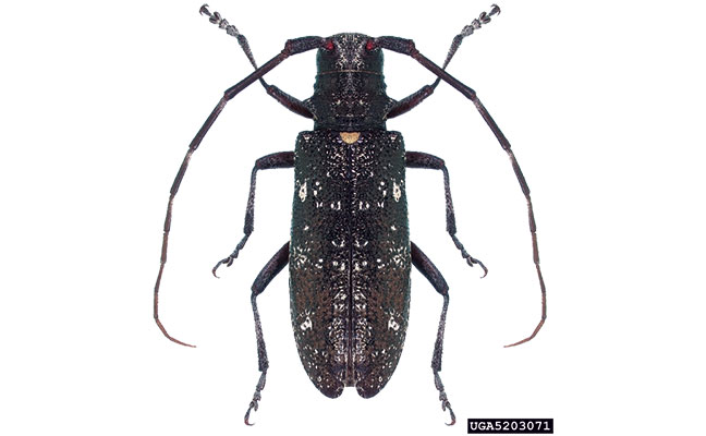 don u2019t be fooled by asian longhorned beetle look