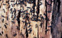 Carpenter ant nest in firewood Photo: Dr. Laurel Hansen