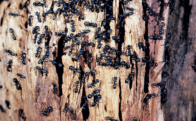 Carpenter ant nest in firewood Photo: Dr. Laurel Hansen