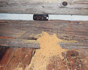 Excavated sawdust from carpenter ants Photo: Dr. Laurel Hansen
