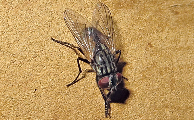 Bonus fact: House flies flap their wings about 190 times per second; to humans, the frequency sounds like a pitch along the F major scale. Photo: Dr. Gerald Wegner, BCE-Emeritus