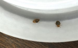 A pair of bed bug adults find themselves stuck in a monitor. Photo: Mark Sheperdigian, BCE