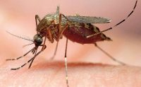 Ochlerotatus (formerly Aedes) canadensis also is known as the woodland pool mosquito. Photo: Gene White