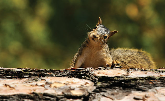 Trapping squirrels with their young is legal, but is it ethical? Photo: ©iStock.com/Kativ