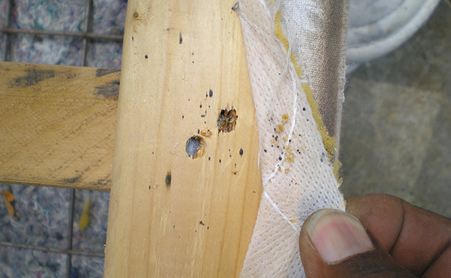 Where Do Bed Bugs Come From Pest Management Professional