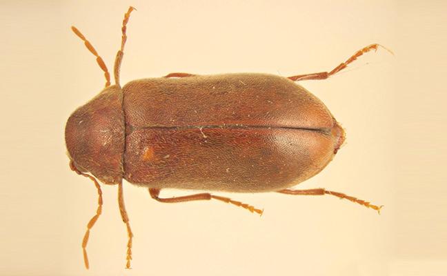 powder post beetle larva