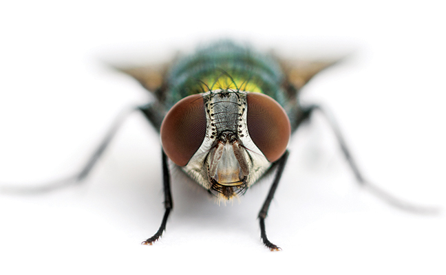 ss181627841green bottle fly - How To Get Rid Of Common Green Bottle Fly