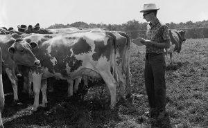 Frishman cow