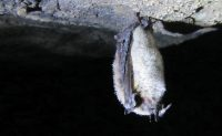 hibernating little brown bat. Myotis lucifugus. Photo: Dr. Paul Cryan, USGS
