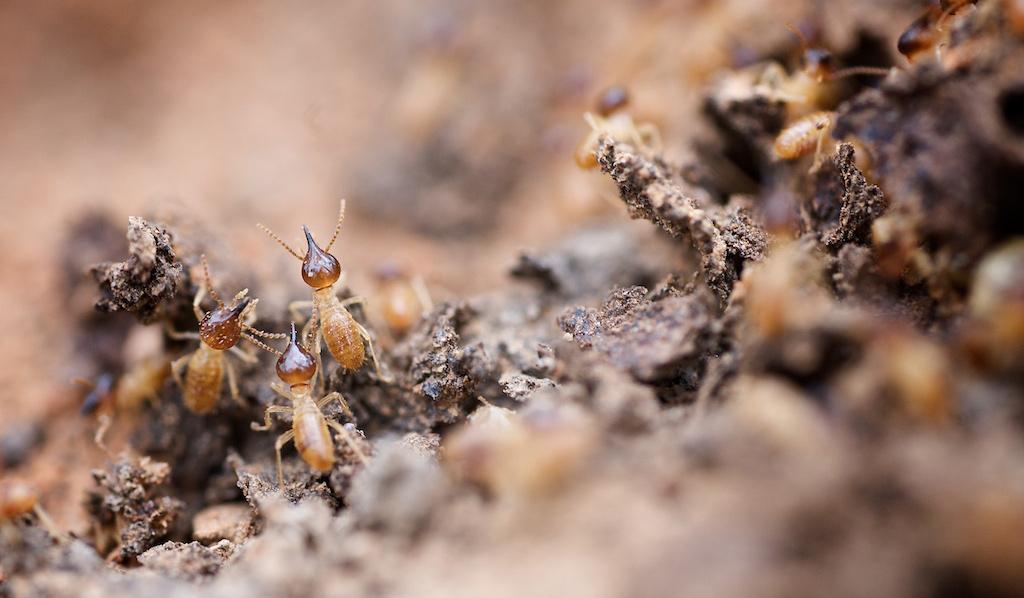 Termites Craig Kirkwood