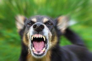 Aggressive Dog