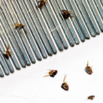 CDC flea illness