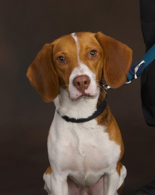 Beagle bed bug dog