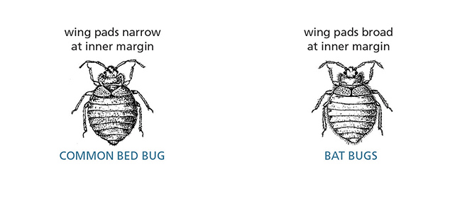 Common bed bug vs. bat bugs