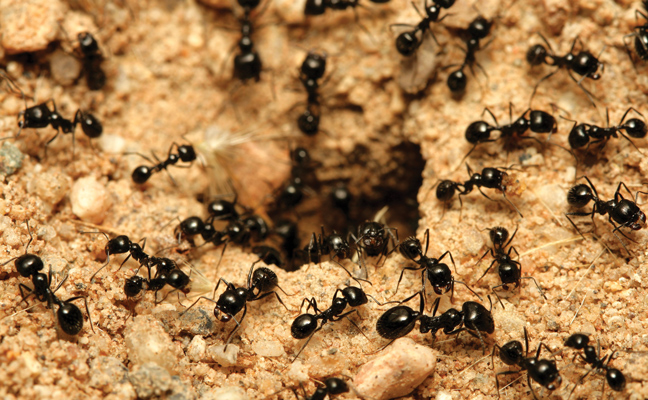 black ants Photo: iStock/cabezonication
