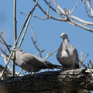 A pair of Eurasian collared doves. PHOTO: JOSEPH BERGER, BUGWOOD.ORG