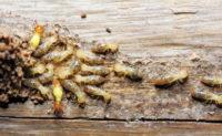 Termites PHOTO: ISTOCK.COM/TOMMYIX