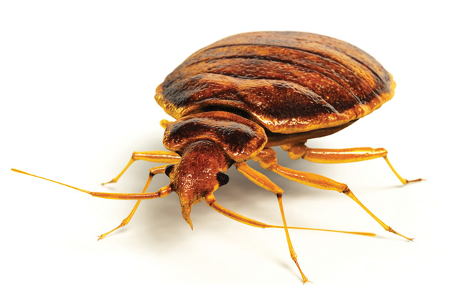 bed bug - PHOTO: ISTOCK.COM/ANIMATEDFUNK