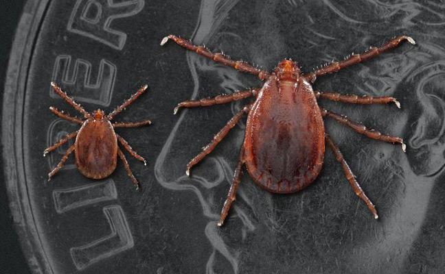 longhorned tick (PHOTO: JAMES GATHANY, CDC/DVBD)