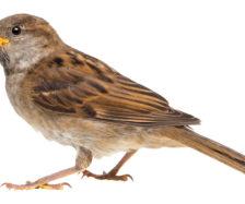 sparrow, PHOTO: ISTOCK.COM/GLOBALP