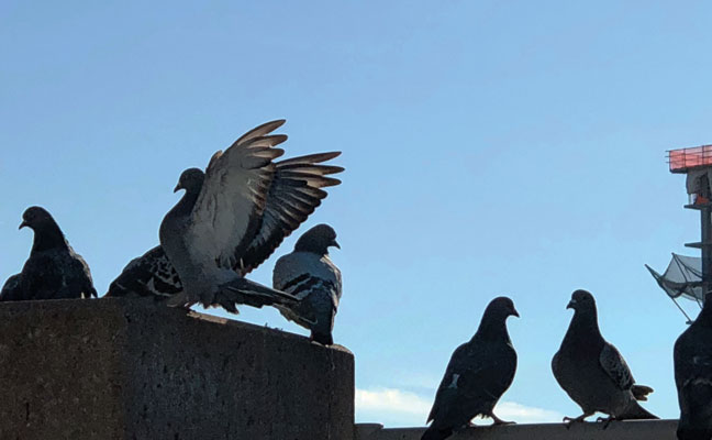 bird control, pigeons, PHOTO: BRETT MADDEN
