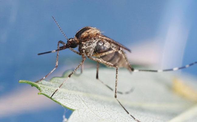 Encephalitis mosquito (Culex tarsalis) PHOTO: JOSEPH BURGER, BUGWOOD.ORG