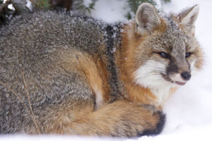 The new strain of canine distemper virus was found in two gray foxes similar to these foxes. PHOTO: VERMONT FISH AND WILDLIFE DEPARTMENT.