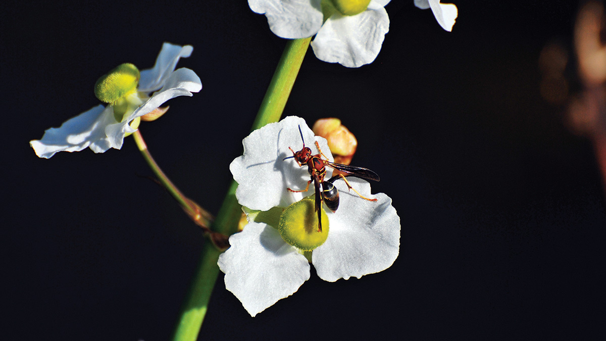 Wasp (PHOTO: Professional Pest Management Alliance)