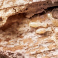 termites PHOTO: ISTOCK.COM/TAPUI