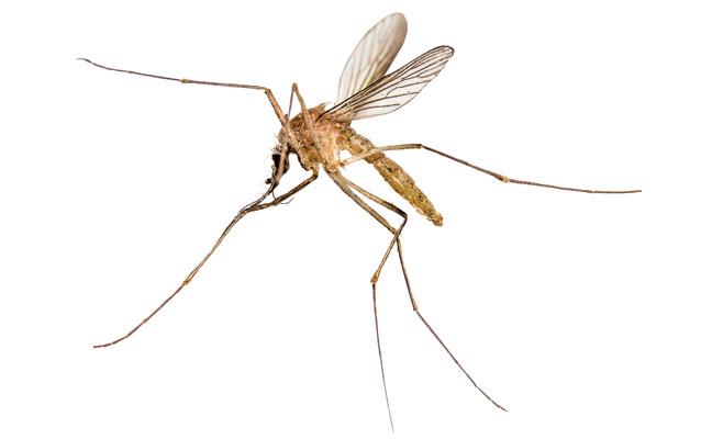mosquito PHOTO: ISTOCK.COM/TOM STOCKER