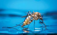 Mosquito on water PHOTO: KHLUNGCENTER/SHUTTERSTOCK.COM