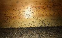 "acrobat ants infestation PHOTO: ANGEL ""SETO"" SOTO"