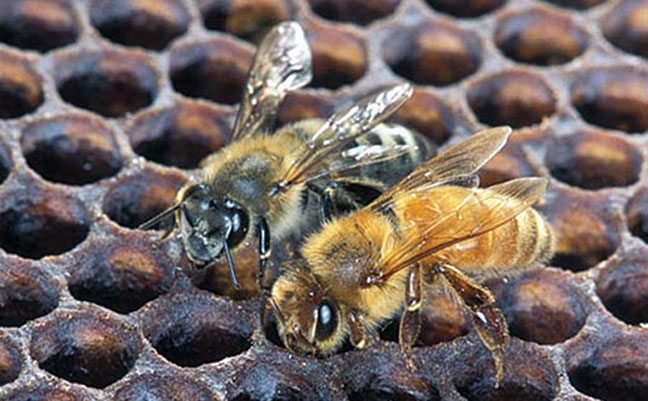 An Africanized honey bee (left) and a European honey bee on honeycomb. Despite color, they normally can't be identified by eye. Photo: Scott Bauer, USDA Agricultural Research Service, Bugwood.org