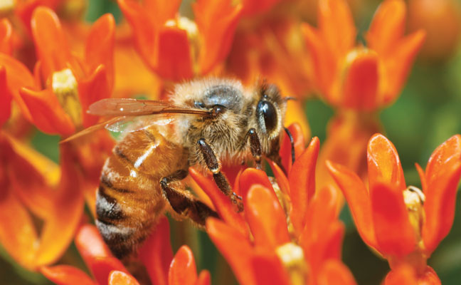 Honey bee (Apis mellifera). Photo courtesy of, and copyrighted by, Gene White, pmimages@earthlink.net