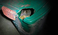 rat in trash can PHOTO: MARK SHEPERDIGIAN