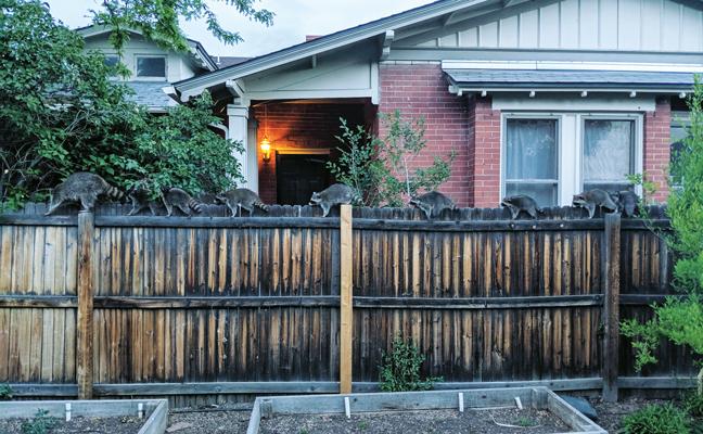 raccoons on fence - PHOTO: ERIK CIEBIERA