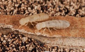 West Indian drywood termites. PHOTO: NPMA