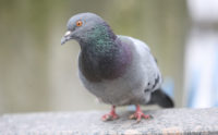 Pigeon. Photo: lom/iStock / Getty Images Plus/Getty Images