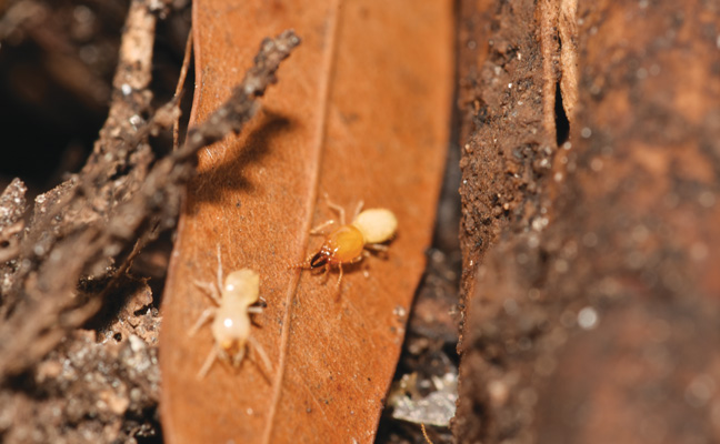 Formosan (Coptotermes formosanus, pictured) and Asian (C. gestroi) subterranean termites. PHOTO: NPMA
