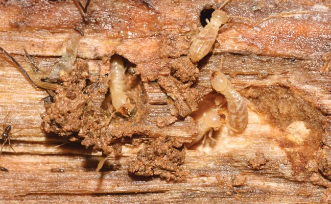 Subterranean termite (Rhinotermitidae). PHOTO: NPMA
